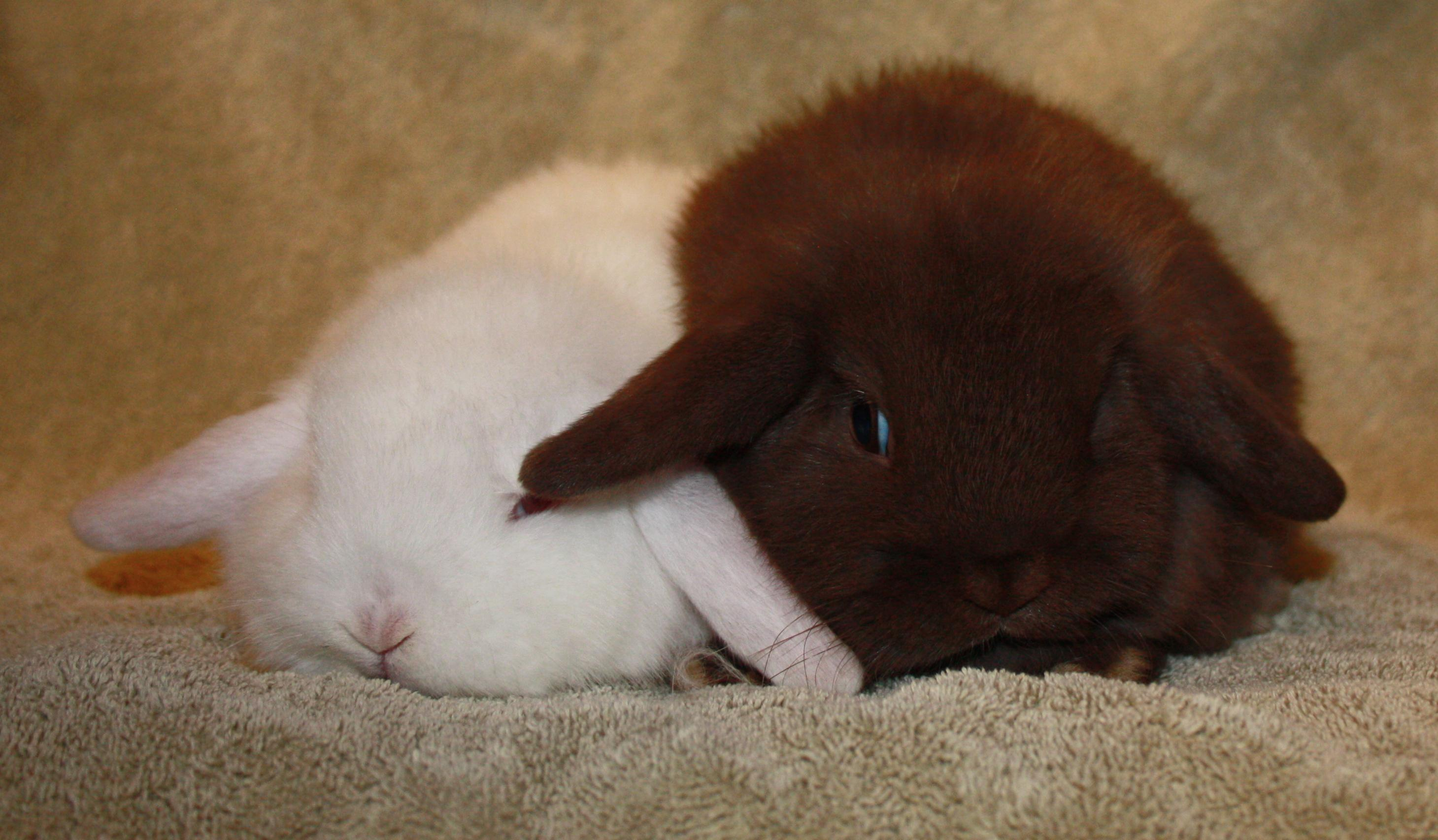 chocolate holland lop project